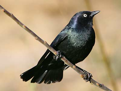 Brewer's Blackbird - Presidio Of San Francisco (U.S. National Park Service)