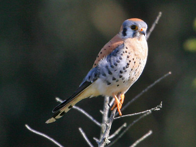 American Kestrel (NPS photo)