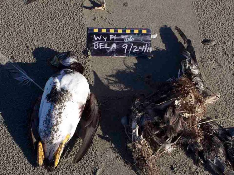 two birds from the Bering Sea bird die off 2017