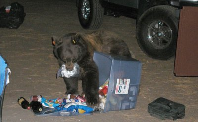Bear eating food taken from open food locker