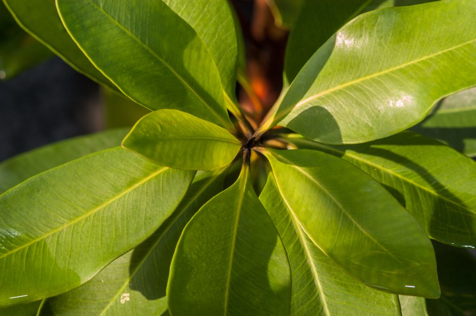 Tristaniopsis laurina Luscious foliage close up