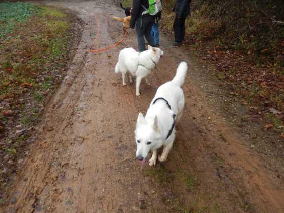Sortie chiens libres - 17 Décembre 2017 (27)