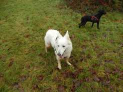 Sortie chiens libres - 17 Décembre 2017 (44)