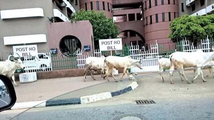Herdsmen-FCT-Cattle