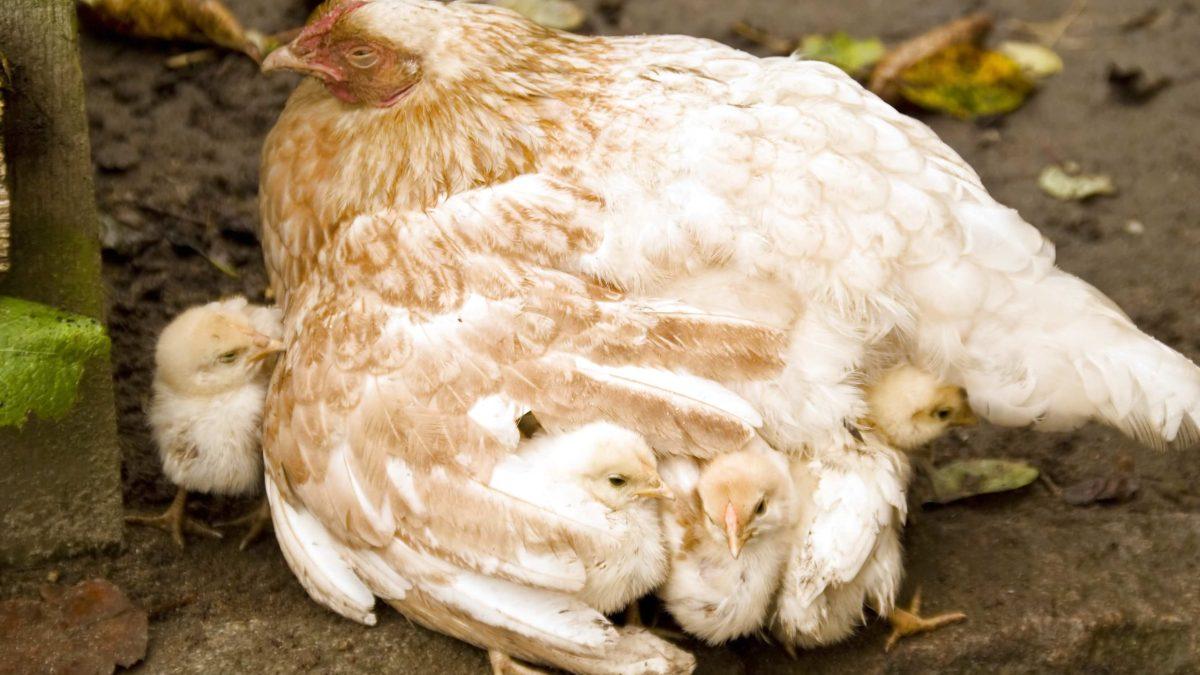 Chicken love….