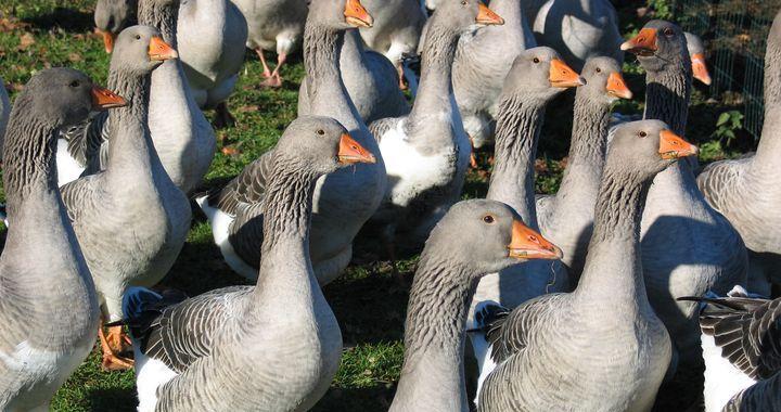 Uzmanību, tuvojas putnu gripa!