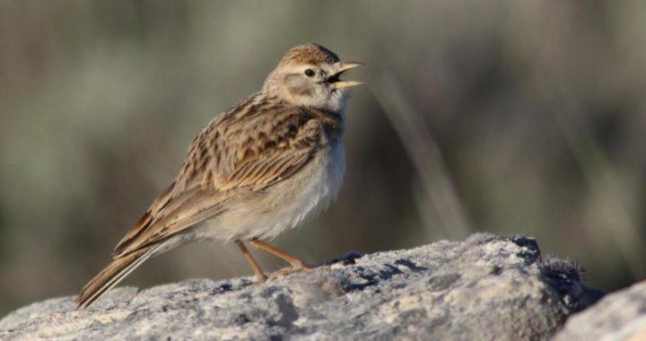 Latvijā novērota jauna putnu suga