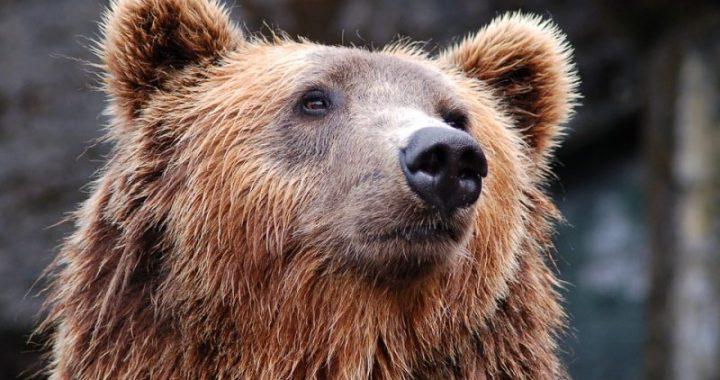 Runā, ka Raudā manīts…lācis