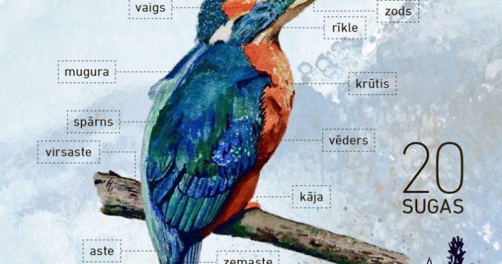 Ūdensputnu iepazīšanai sagatavots 20 sugu noteicējs jaunajiem putnu vērotājiem