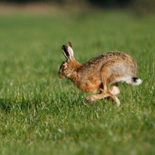 Forest of Bowland AONB - Hare in Bleasdale
