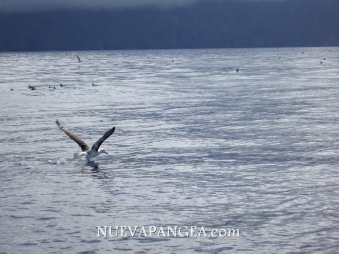 Complicados para volar sin viento las grandes aves prefieren correrse del curso del barco simplemente aleteando