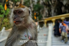 Monos, Cuevas Batu, Kuala Lumpur