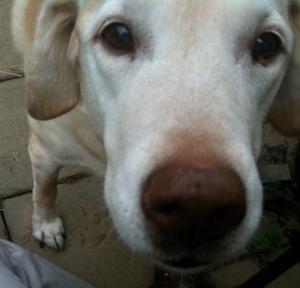 A close-up of a yellow Labrador Retriever.