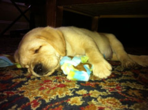 A yellow Labrador puppy sleeps on the floor.