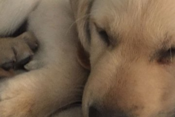 A small puppy sleeps curled up against a cloth bacon chew toy. The puppy is a yellow Labrador retriever/golden retriever mix.