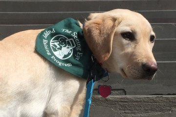 A yellow Labrador Retriever/Golden Retriever mix stands on stone stairs. He's wearing a green Seeing Eye bandana.