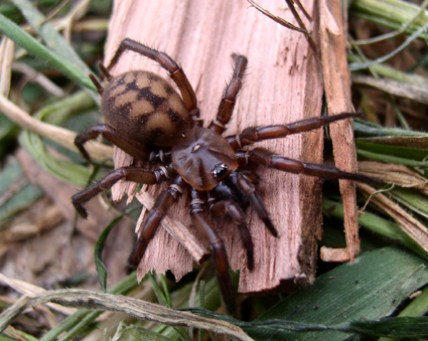 Photo of biggest of all NZ spiders