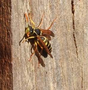 Asian paper wasp - male