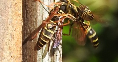 Asian paper wasps