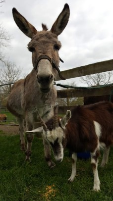 Bella the English donkey and a friendly goat.
