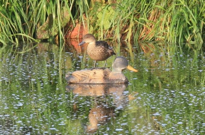 Photo of duck on decoy