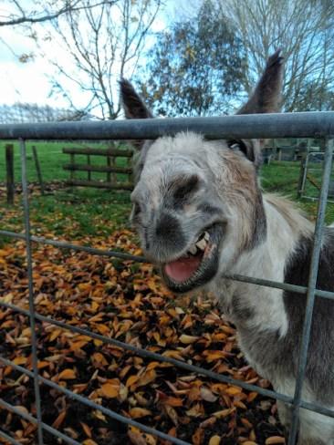 Carnival the donkey