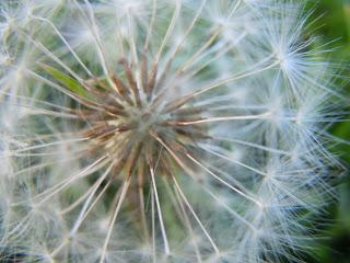 Dandelion herbal medicine for natural healing