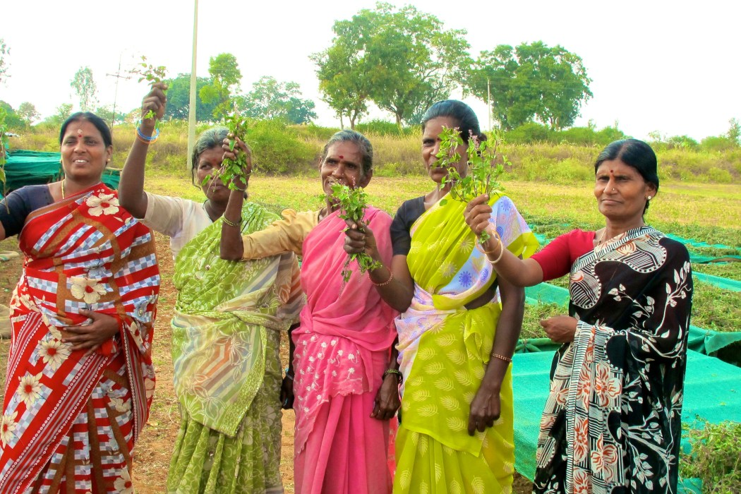 Pukka Herbs and Phalada working together to create a Fair for Life tulsi project in Karnataka State, India.
