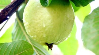 Photo of امرود د وینې لوړ فشار کمولو لپاره غوره مېوه ده