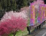 梅祭りの名残り…信州新町ろうかく湖