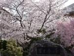 桜満開で祝す入学式