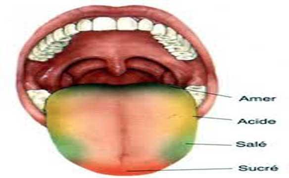 agents saveur additif alimentaire langue goût schéma