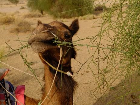 Diario India Thar Deserto Dromedario