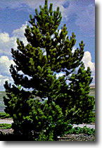 austrian pine seedlings, zones 3-7