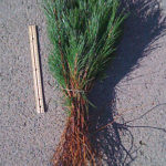 austrian pine transplants for sale