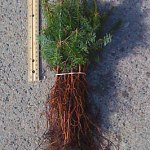 balsam fir seedlings for sale