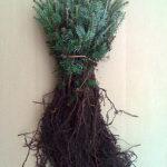 balsam fir transplants for sale