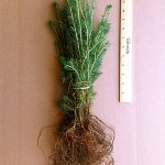 black spruce plug seedlings for sale