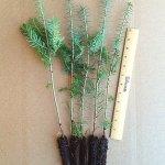 canaan fir plug seedlings for sale