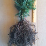 canaan fir transplants for sale