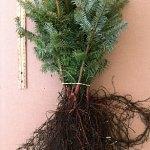 Fraser Fir evergreen transplants for sale