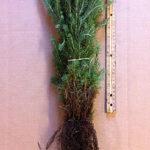 serbian spruce seedlings for sale