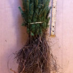 white spruce seedlings for sale