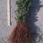 white spruce transplants for sale