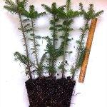 fraser fir plug transplant for sale