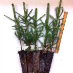 Norway Spruce plug transplants