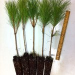 red pine plug transplants for sale