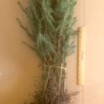 norway spruce transplants for sale