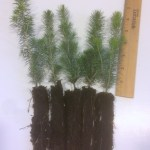 white spruce plug seedlings for sale