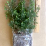 white spruce plug transplants for sale